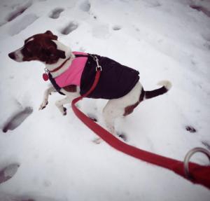 Busu, my dog running in the snow