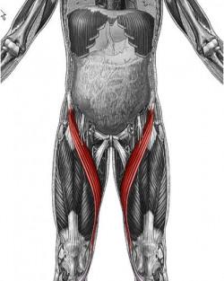 Sartorius muscle